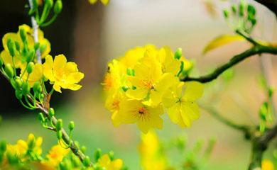 Ngày Xuân, Tản mạn về Mai